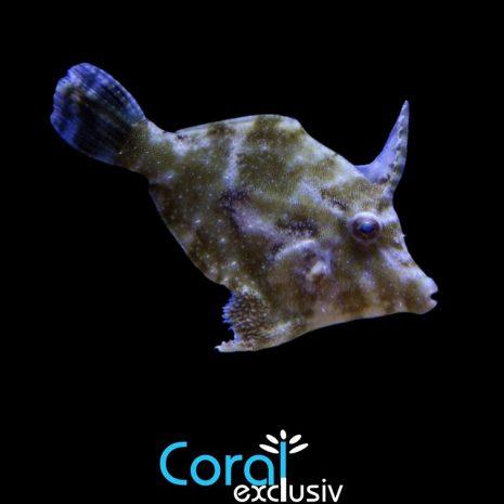 Acreichthys-tomentosus-1.jpg