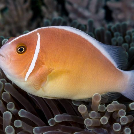 Amphiprion-perideraion.jpg