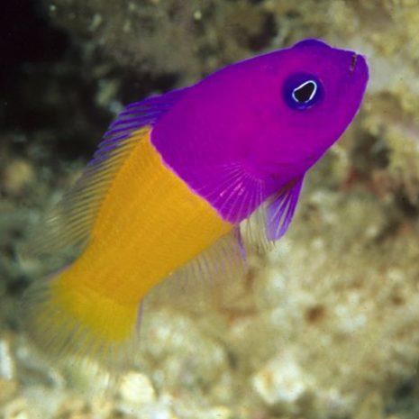 Pictichromis-paccagnellae.jpg