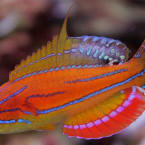 paracheilinus-mccoskeri.jpg